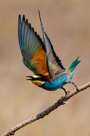 Close-up of a bee eater flying