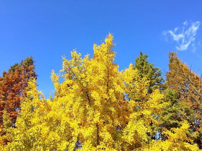 Tree Autumn Nature Beauty In Nature Low Angle View Growth Change Yellow Day Outdoors Leaf No People Blue Scenics Sky Clear Sky Freshness