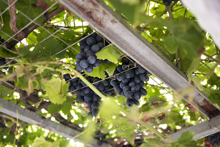 Grapes Agriculture Day Food Food And Drink Freshness Fruit Grape Grapes Green Color Growth Healthy Eating Leaf Nature Plant Plant Part Plantation Ripe Tree Vine Vineyard Wellbeing Winemaking