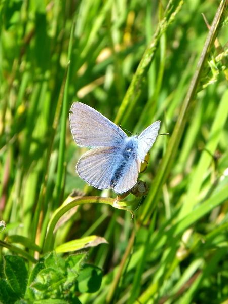 Summer blues POLYOMMATUS ICARUS Common Blue Butterfly Insect One Animal Butterfly Nature Animal Wing Animal Themes Animals In The Wild Butterfly - Insect Green Color Outdoors No People Spread Wings Day Grass Fragility Beauty In Nature