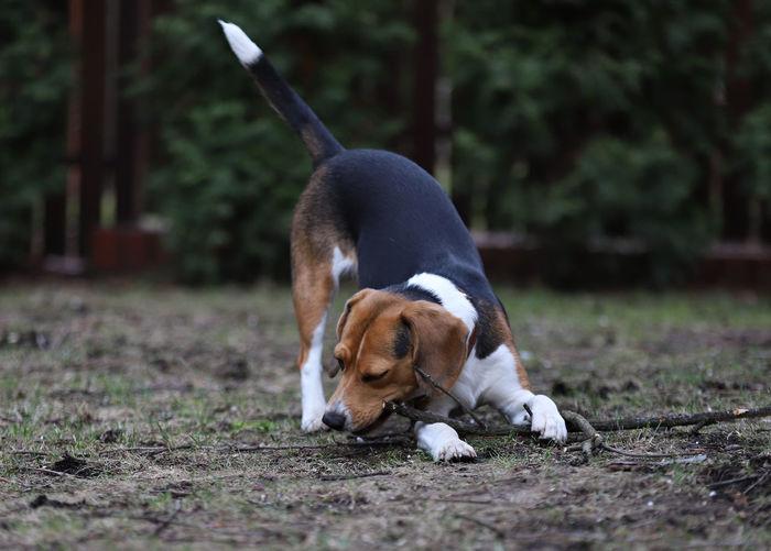 Dog looking away, beagle
