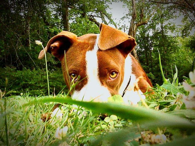 Apollo First Eyeem Photo My Dogs Are Cooler Than Your Kids Rednosepit Pitbull Big Baby