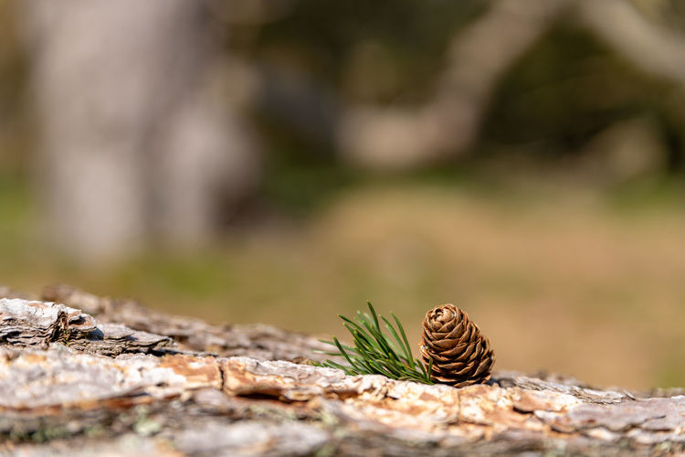 Close-up of pine cone on rock