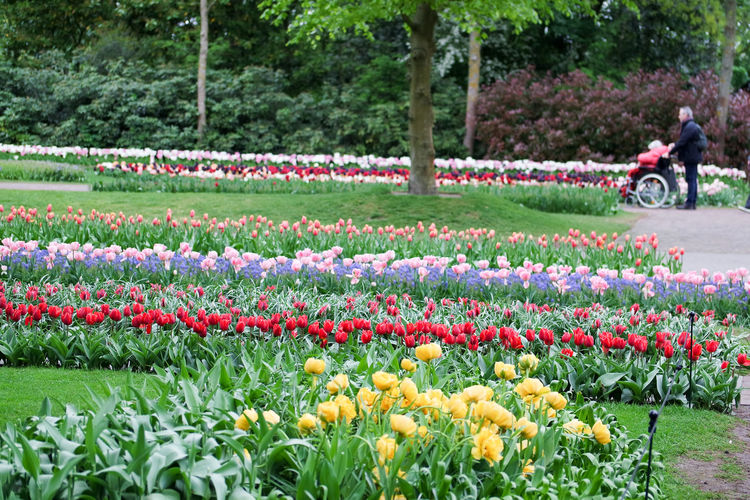 Flowers and tulips in Keukenhof garden Plant Flower Flowering Plant Growth Beauty In Nature Tulip Nature Freshness Day Fragility Park Vulnerability  Park - Man Made Space Field Flowerbed Green Color Springtime Incidental People Land One Person Outdoors Flower Head Gardening Keukenhof Keukenhof Garden Keukenhofpark Keukenhofgardens Keukenhof Botanical Gardens Fields Flowerfields people and places