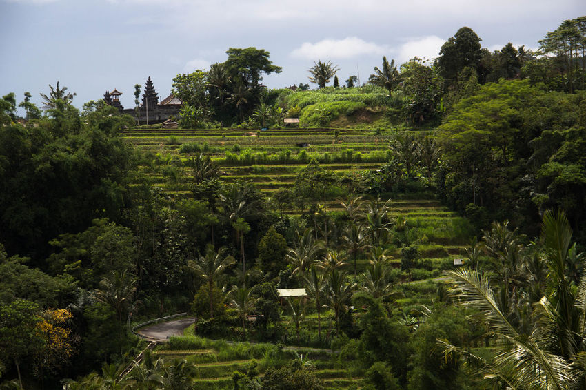 Bali Field Green Color Jatiluwih Rice Terrace Landscape_Collection Nature Palm Tree Rice Paddy Tranquility UNESCO World Heritage Site Landscape Mountain Nature_collection Outdoors Tropical Climate