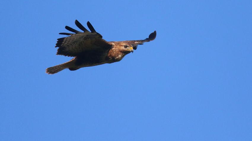 Aves Bird Photography Nature Photography Bird Bird Of Prey Buzzard  Buzzard In Flight Common Buzzard