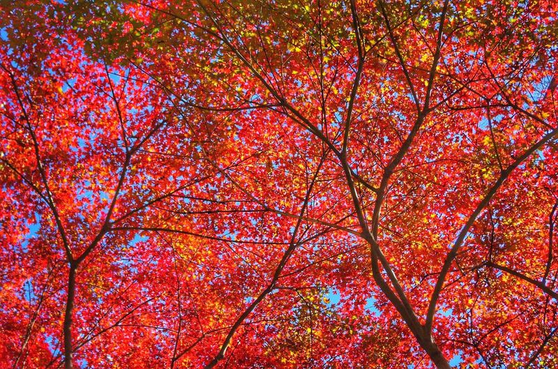 Trees Leaves Japanesemaple Red Leaves The Colors Of Autmn Autmn Fall Autumn Leaves EyeEmBestEdits EyeEmBestPics EyeEm Best Shots Relaxing Enjoying Life Hello World