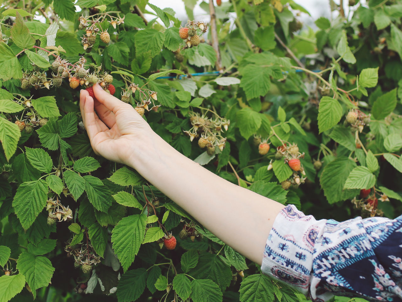 Cropped Image Of Woman Plucking Strawberry From Plant