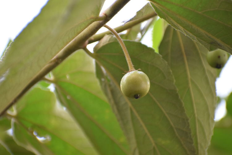 NIKON D5300 Nikon Photography Nikon Nikonphotography Photography Day No People Nikond5300 Tree Branch Fruit Leaf Unripe Close-up Plant Green Color Food And Drink Fruit Tree