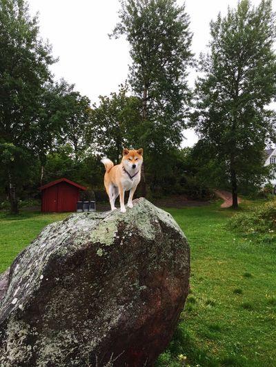 Enjoying Life Hanging Out Shiba Inu LOVE Shibastagram Shibadog ❤ Shiba Girl Milla