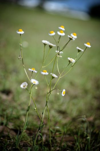 Small Flowers in Perspective Nature Plant Outdoors Flower Head Flower No People Beauty In Nature Freshness Day Growth Close-up