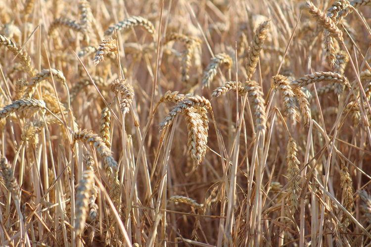 Close-up of crop in field