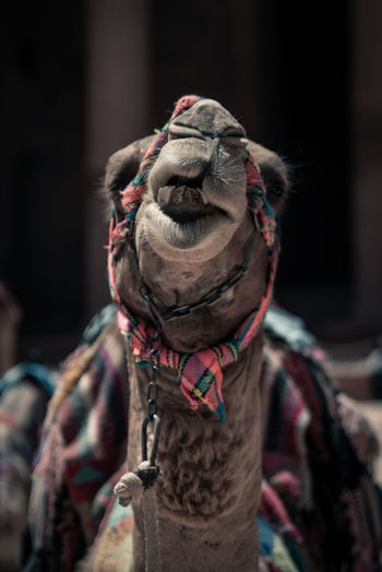 Close-up camel with chain