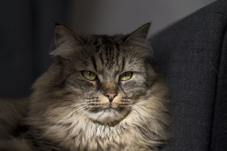Close-up of a maine coon cat