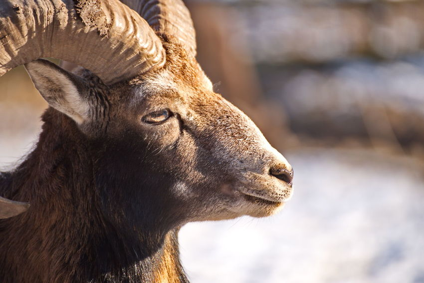One Animal Animal Body Part Close-up Animal Head  Animal Animal Themes Animal Eye HEAD No People Day Outdoors Domestic Animals Nature Mammal Mouflon