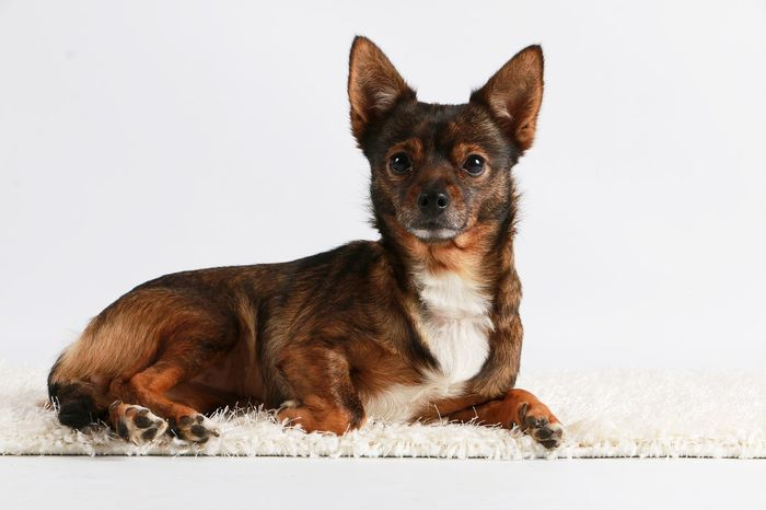 little mixed dog is lying in the studio Beautiful Animal Themes Brown Chihuahua Close-up Day Dog Domestic Animals Indoors  Looking At Camera Lying Down Mammal Mix Mixed No People One Animal Pets Portrait Sitting Small Studio Shot White Background