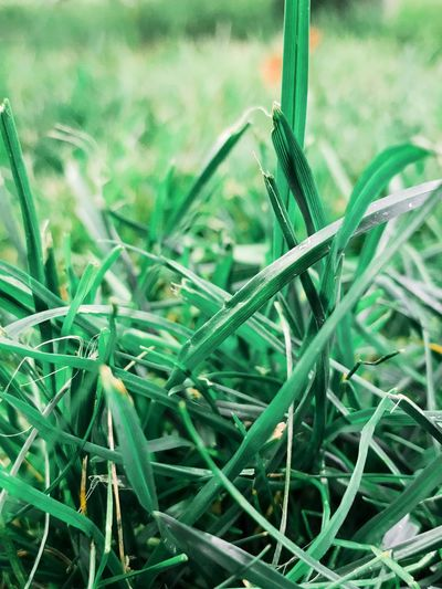The grass is greener... Green Color Grass Growth Plant Day Close-up Nature No People Field Outdoors Freshness Beauty In Nature