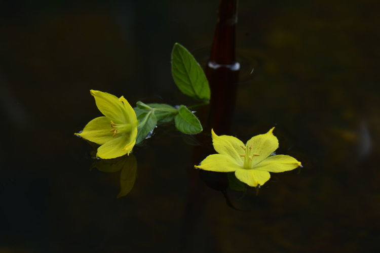 water series Beauty In Nature Black Background Close-up Day Flower Flower Head Flowering Plant Fragility Freshness Green Color Growth Inflorescence Leaf Loosestrife Lysimachia Vulgaris Nature No People Petal Plant Plant Part Purity Vulnerability  Water