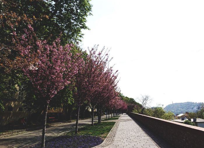 Tree Growth Nature The Way Forward Beauty In Nature Road Day Outdoors No People Flower Sky Freshness Nature Spring Tree Travel Traveling Budapest Clear Sky
