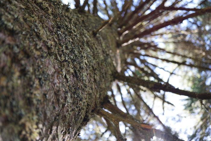 Tree Tree Trunk Nature Pine Tree Pinaceae Outdoors Beauty In Nature No People Day Close-up Sky Branch Spruce Tree WoodLand Tree Area Survival First Eyeem Photo Plant Part Nofilter Forest Growth Tree Trunk Beauty In Nature Nature Tree EyeEmNewHere