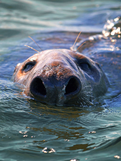 Close-up of a seal in water