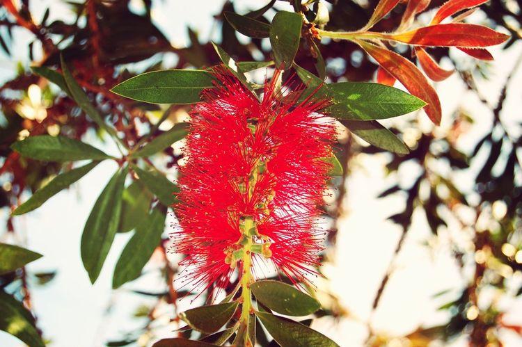 Flower Red Leaves Leaf