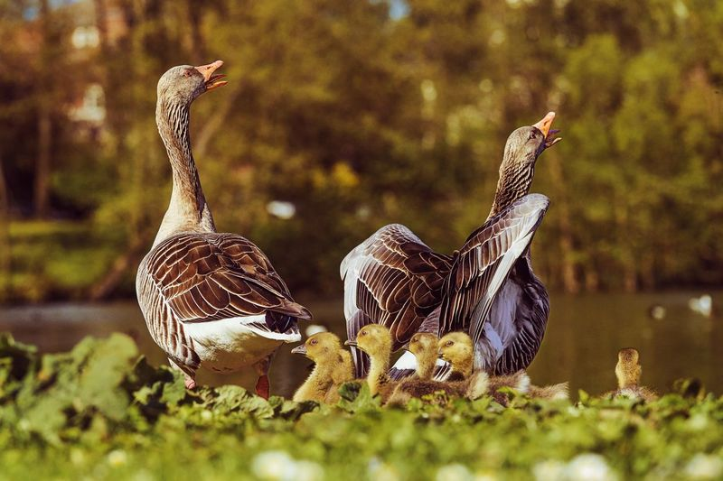 Little Family Bird Animal Themes Young Bird Animals In The Wild Nature No People Young Animal Day Outdoors Gänse Geese Goose Greylag Goose Beauty In Nature Frühling Spring 2017 EyeEm Gallery Kücken Wildlife & Nature Wildlife Photography Wildlife Nature Photography Wildlifephotography Bird Photography
