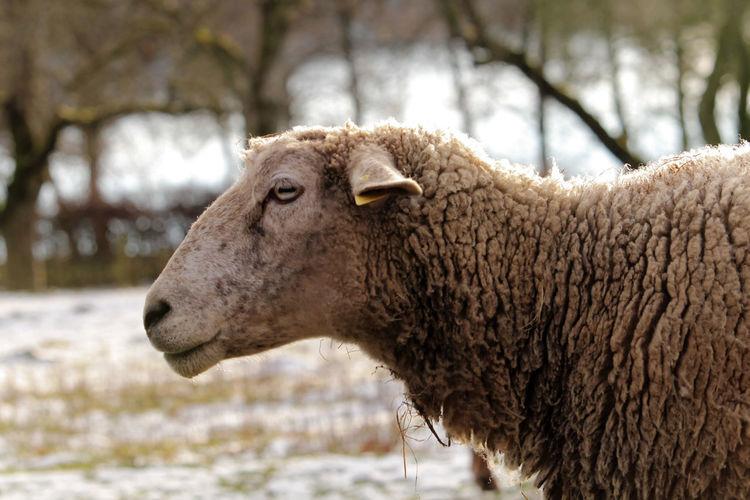 Headshot Sheep