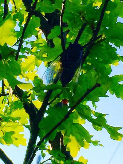 Cicada 蝉 Chorus Light And Shadow Tree IPhoneography Bluesky Fukuoka,Japan