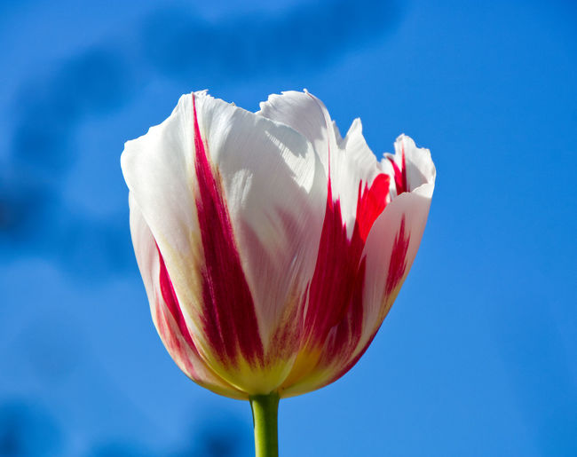 Close-up of pink tulip against sky