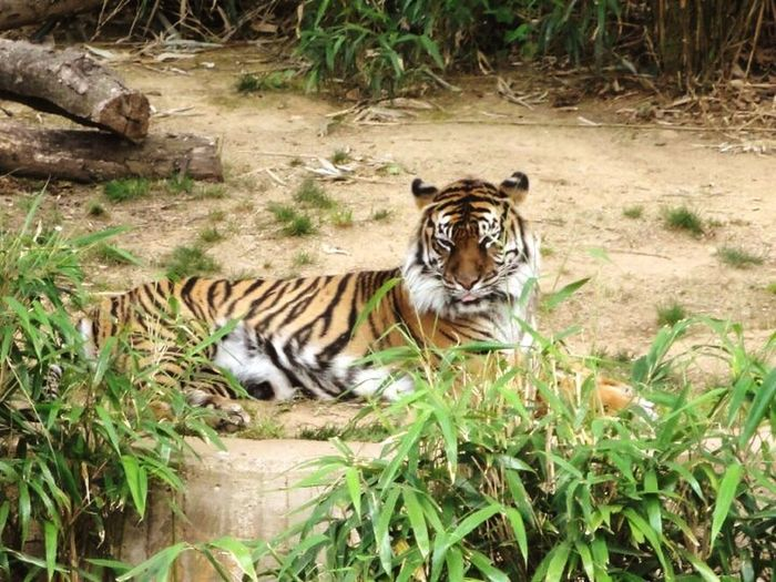 Tiger Tiger Love Cat Lovers Eye Of The Tiger Tigers❤ National Zoo Washington, D. C.