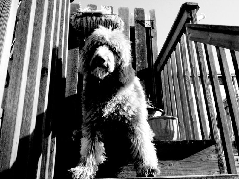 QVHoughPhoto Northdakota Fargo Goldendoodle Dog Outdoors Blackandwhite IPhoneography IPhone4s