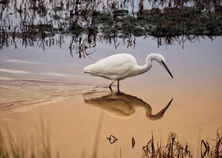 White birds on a lake