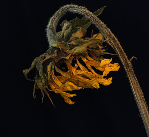 Death of Summer brings Autumns colors. Black Background Close-up Dead Flowers Leviathan Photography Nature Nature Photography Still Life Photography Summer Sunflower