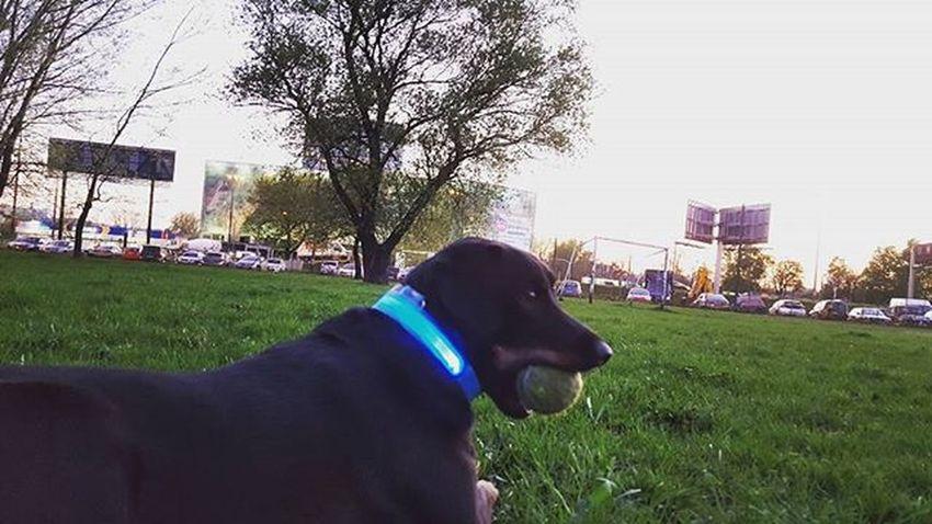 Moja najlepsza piłeczka ⚾⚾ 1000 followers thanks !!!!! ☺❤❤❤❤❤❤❤❤❤❤❤ 💙 💙 Majeczka871🐶🎉 ❤ 💕 QueenMaja👑 💙 Please follow me and comment 💙 And please follow my friends @mis.tosia❤ @mayad1217💕 @fibi_forever 💙 💙💙💙💙💙💙 Dog Dogeyes Dogmodel Doginstagram Instadog Photodog Dogphoto Doginsta Pies Piesinst Bestdogmodel Majapies Maja Dogsofinstagram Dogstagram Blackdogsofig Ig_dogphot Doglife Doglifestyle Ig_dogphot Dog_of_instagram Doginstragram Animal animallovers animallover amazingpicturez_animals 1000followers followme