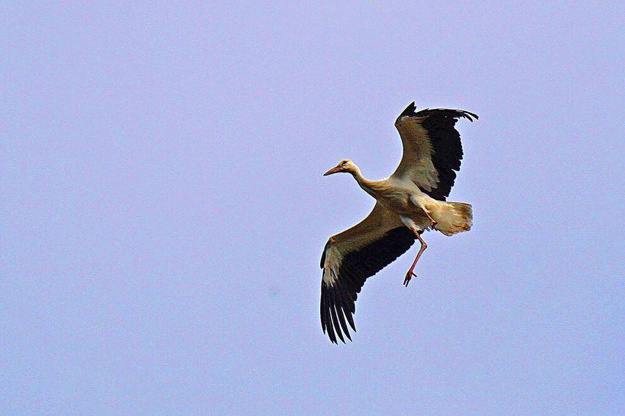 Stork Flying Landing Bird Birds Bird Photography Germany Münster NRW Storch Störche Storks Go Higher
