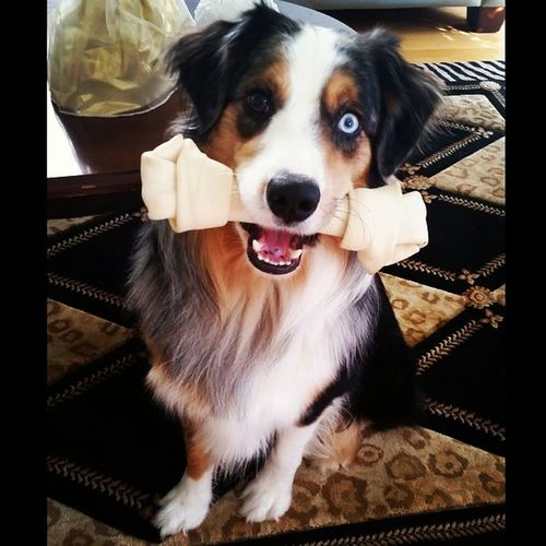 Happy2ndBirthday ..Tuckiee loves his new birthday bone 🐕🍖 Pupsofinstagram Puppielove Birthdayboy Australianshepard