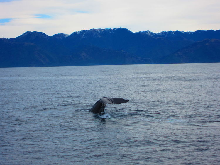 Whale Tail Animal Body Part Animal Themes Animals In The Wild Aquatic Mammal Beauty In Nature Kaikoura Kaikoura New Zealand Mountain Range Nature No People One Animal Scenics Sea Sea Life Sperm Whale  Swimming Whale Whale Whale Watching