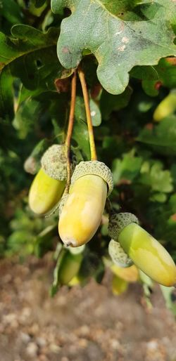 Nuts Leaf Tree Hanging Agriculture Close-up Plant Green Color
