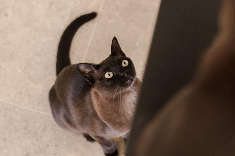 Animal Themes Big Eyes Brown Burmese Cat Cat Domestic Animals Domestic Cat Feline Looking Up Pets