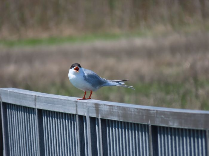 Common term perched atop a metal fence seemingly talking birdwatching birds of EyeEm focus on the foreground beauty in nature outdoors animal themes Bird Animal Wildlife One Animal No People
