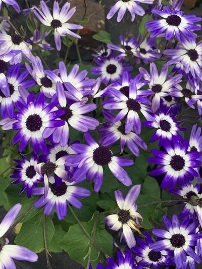 Flowering Plant Flower Freshness Vulnerability  Fragility Plant Beauty In Nature Petal Inflorescence Growth Flower Head Close-up No People Osteospermum Full Frame Nature Purple High Angle View Pollen Day