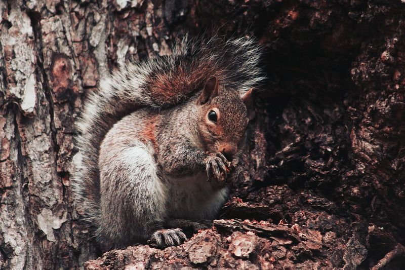 Squirrel Squirrel Closeup One Animal Mammal Animal Wildlife Animals In The Wild No People Outdoors Close-up Nature Animal Themes Tree Day Daylight Forest Chipmunk Photography