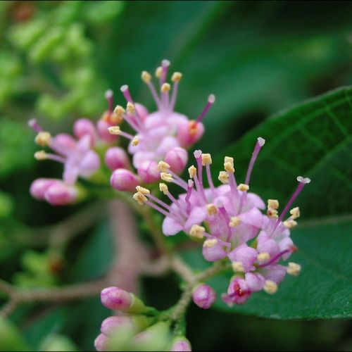 _Callicarpa dichotoma_ Chinese Beauty Berry Flowers,Plants & Garden