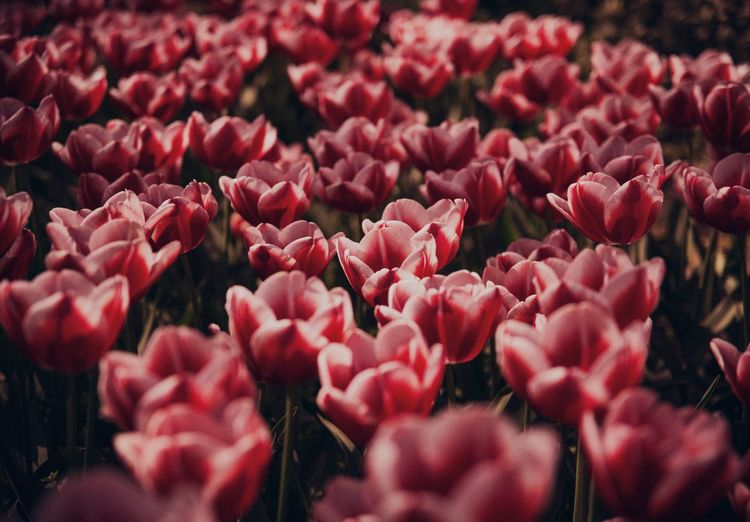 Garden Full Of Flowers Flower Collection Tulips EyeEm Selects Flower Flowering Plant Freshness Plant Fragility Vulnerability  Red Close-up Petal Growth Flower Head Full Frame Pink Color No People Backgrounds Nature Day Springtime Decadence