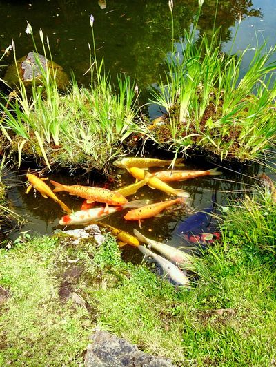 Little goldfish pool Goldfish Little Pool Water Reflections Garden Photography Garden 43 Golden Moments Colour Of Life A Bird's Eye View