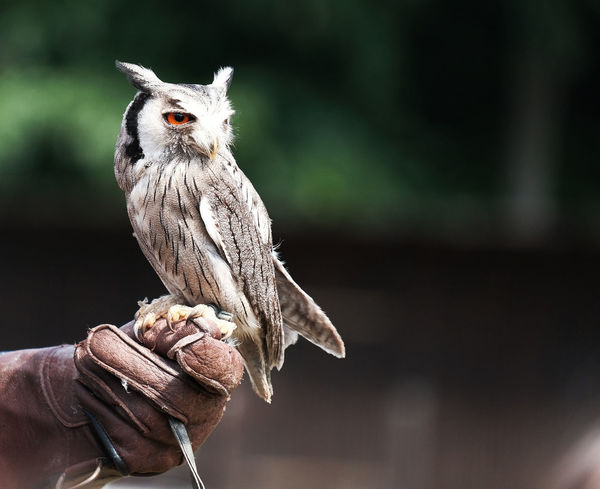 Animal Themes Animal Wildlife Animals Animals In The Wild Bird Bird Of Prey Close-up Day Falconer Fasanerie Hanau Focus On Foreground Human Body Part Human Hand Kestrel Leather Gloves Mammal Nature One Animal One Person Outdoors Owl People Perching Real People