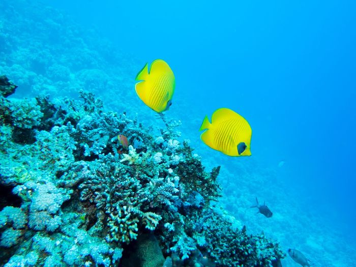 Bluecheek Butterflyfish Pair Egypt Butterflyfish Underwater UnderSea Sea Sea Life Yellow Reef Fish Coral Animals In The Wild Swimming No People Beauty In Nature Animal Themes Nature Water