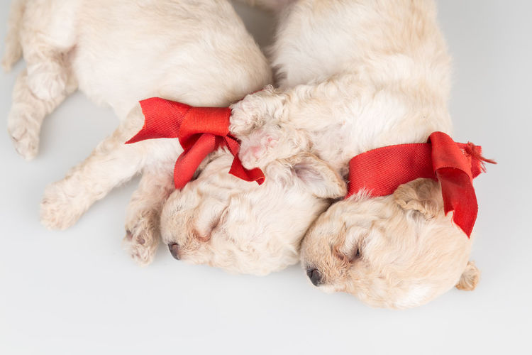 Top view of two puppies snuggling. Puppy Love Animal Animal Leg Animal Themes Canine Celebration Christmas Dog Domestic Domestic Animals Holiday Indoors  Mammal Newborn No People One Animal Pets Puppy Red Ribbon Ribbon - Sewing Item Small Softness Studio Shot Vertebrate
