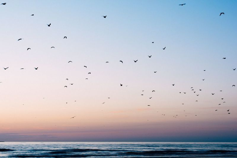 Silhouetted flock of birds flying over sea